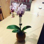 11月3日で、まことやは10周年を迎えた。そして胡蝶蘭をお祝いに頂いた。